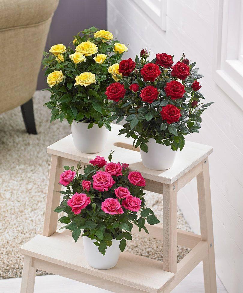Как ухаживать за садовыми розами в течение года: правила посадки, зимовка, обрезка и другой уход