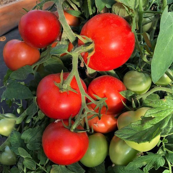 Урожайность томатов в теплице - сорта и лучшие советы для выращивания