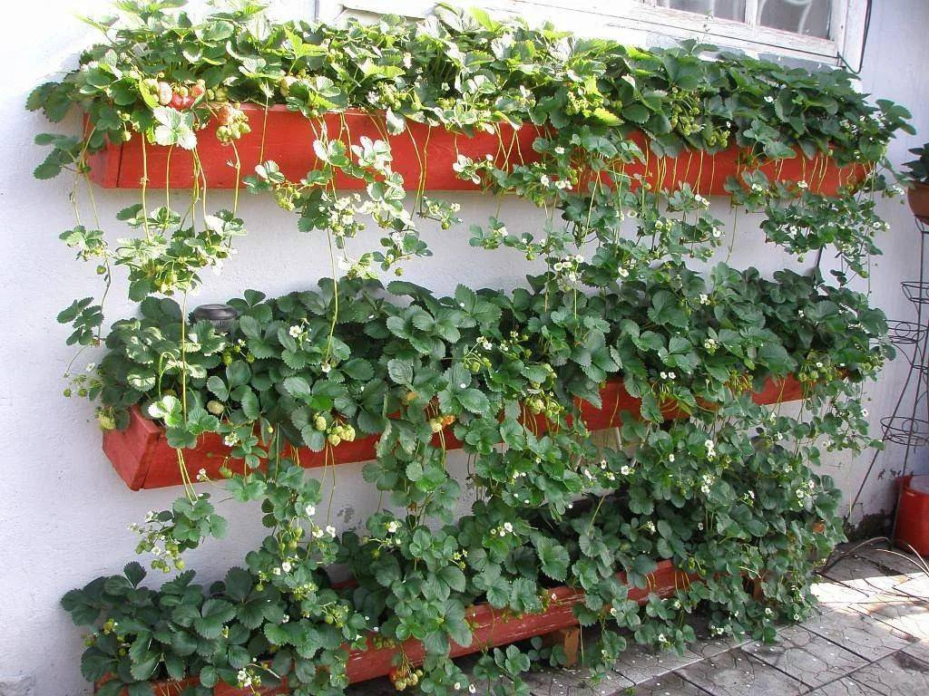 Ампельная земляника в горшках: уход и выращивание в домашних условиях
