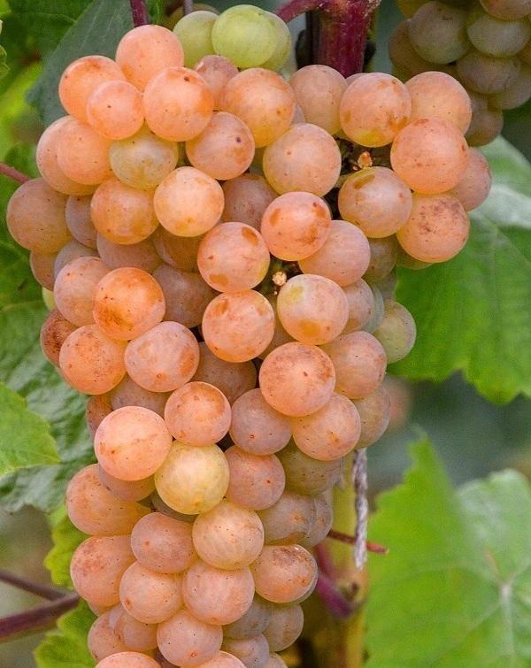 Самые популярные сорта винограда из селекции с. и. красохиной