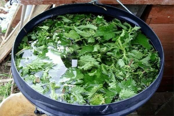 Подкормка из крапивы – как правильно приготовить и использовать – 4 сезона огородника