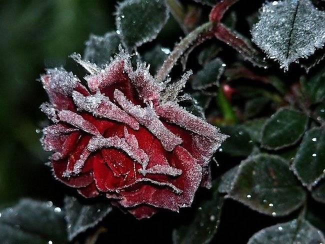 Как и когда укрывать розы на зиму — особенности подготовки и подробная инструкция