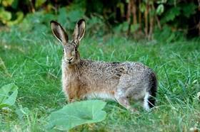 Что ест заяц в лесу для детей