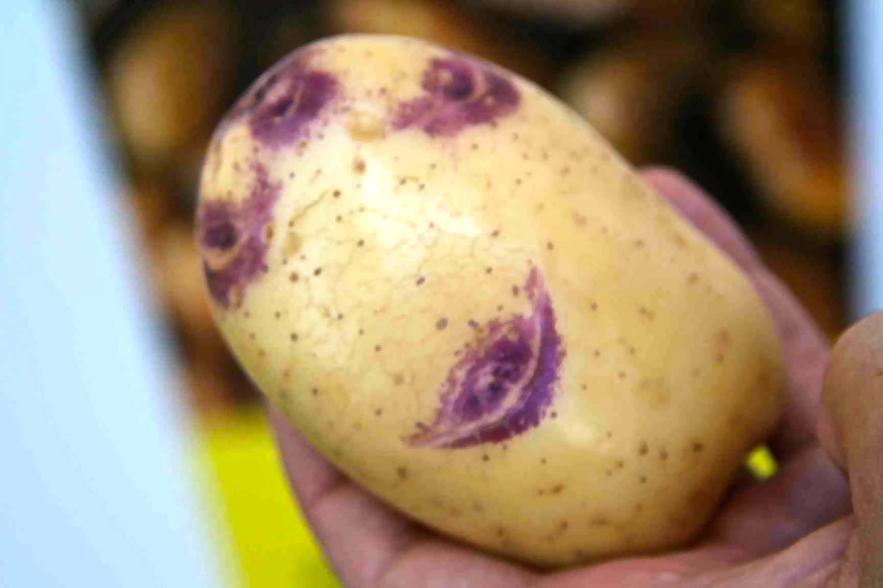 Фиолетовый картофель — сорта