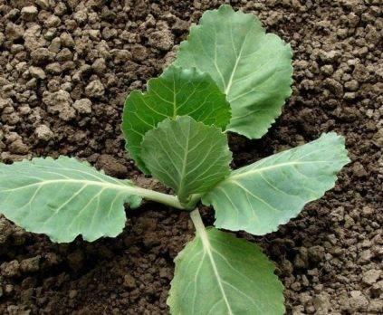 Выращивание рассады в улитках и пеленках, видео юлия миняева