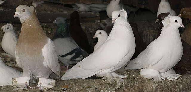 Болезнь ньюкасла у голубей: симптомы, лечение и профилактика вертячки