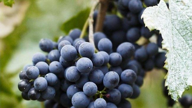 Николай курдюмов ★ виноград и другие ягоды вашего сада читать книгу онлайн бесплатно