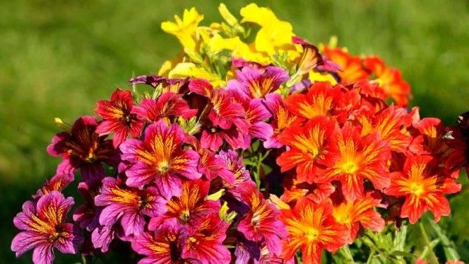 Сальпиглоссис - выращивание из семян трубкоязычника, фото   сажаем сад