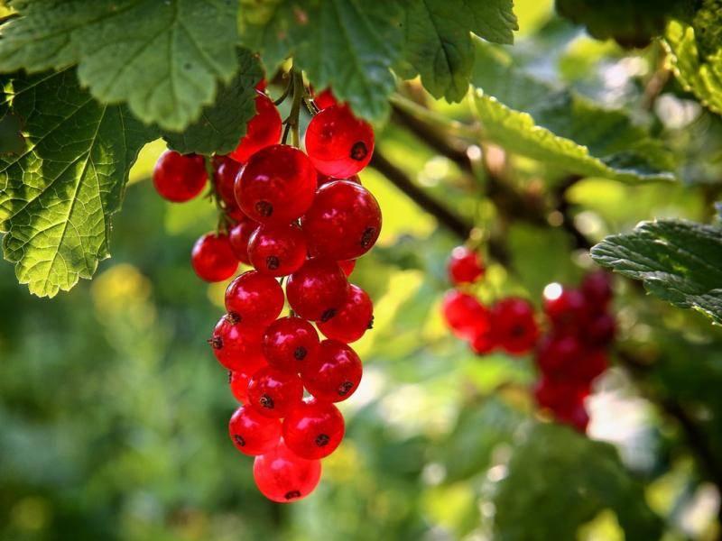 Подкормка смородины ранней весной и в начале цветения: чем подкормить для хорошего урожая