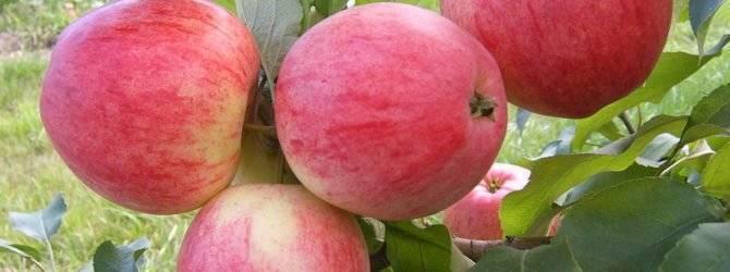 Яблоня мечта: посадка, фото и описание сорта, отзывы