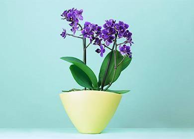 Голубая орхидея: сорта и фото, уход в домашних условиях, отзывы покупателей