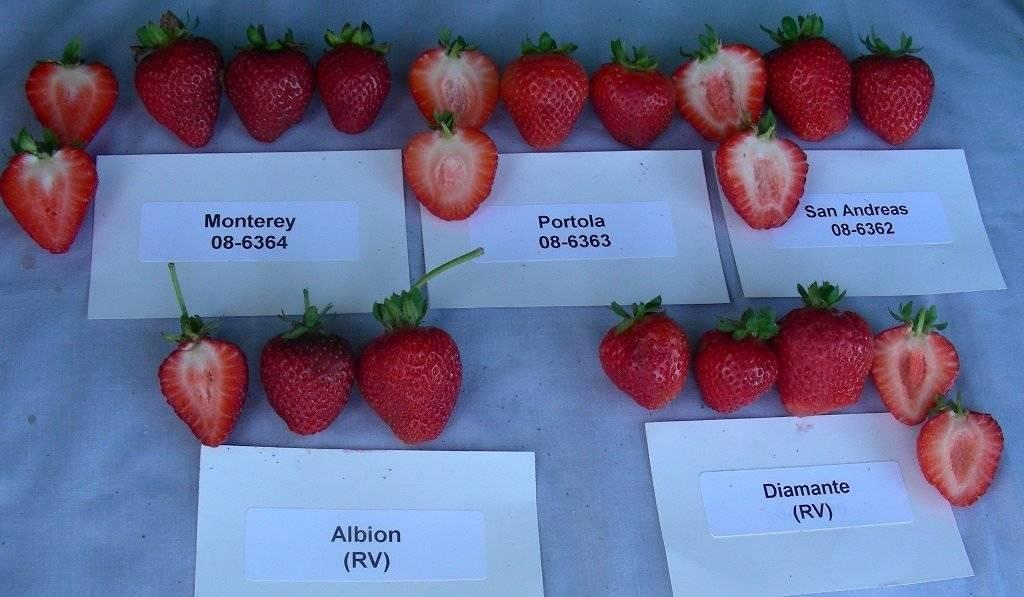 Клубника «альбион»: описание и характеристика сорта