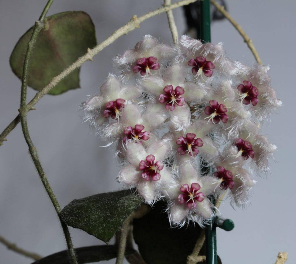 Хойя Каудата — как вырастить красивый цветок
