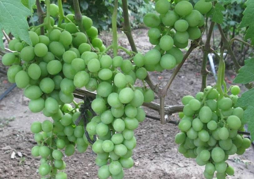 Сорт винограда эверест: описание сорта, фото и отзывы, урожайность