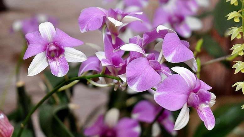 Нежная красавица орхидея дендробиум – фото растения, инструкция по пересадке в домашних условиях