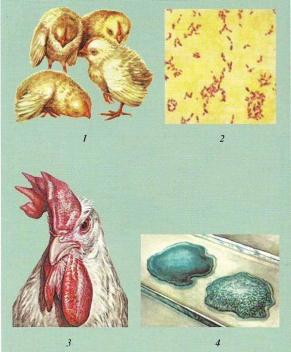 Понос у кур - чем лечить в домашних условиях, жидкий стул - что делать и что дать