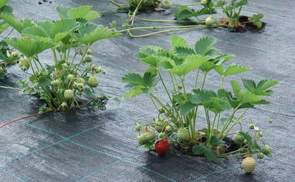 Клубника кама: описание сорта, фото, отзывы огородников