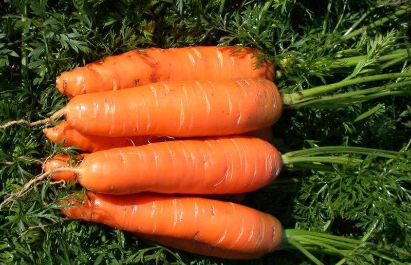 Сорта моркови без сердцевины для хранения