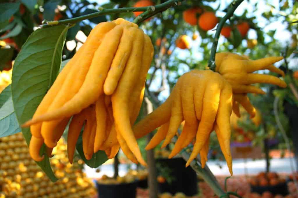 Мандарин: виды и сорта, условия выращивания