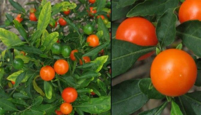 Как вырастить помидоры черри в квартире на подоконнике или балконе