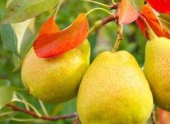 Груша лагодная: описание сорта, фото, отзывы садоводов