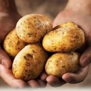 Картофель колетте: отзывы, топ секреты выращивания, описание, фото