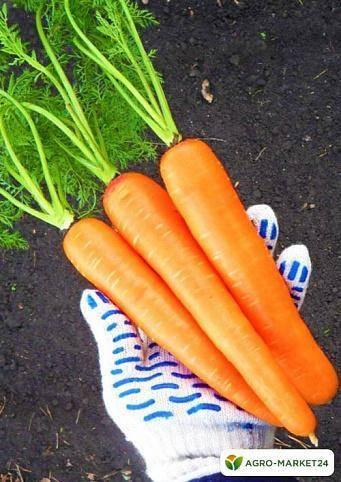 Морковь лосиноостровская 13 описание фото отзывы