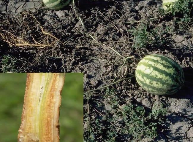 Болезни и вредители арбузов: описание, лечение и борьба с ними, почему желтеют листья и что делать, фото