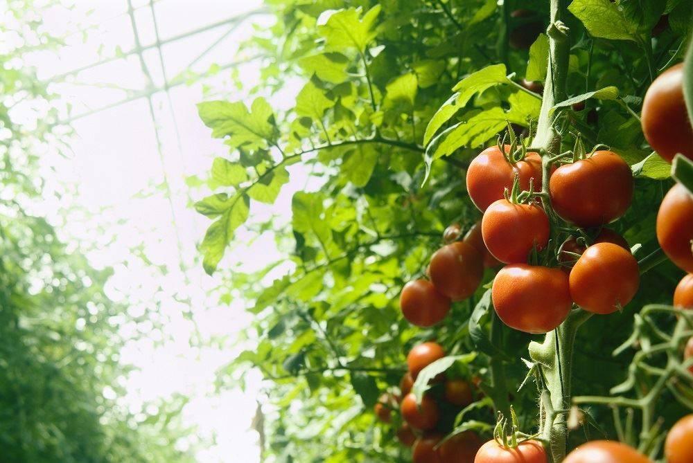 Как прищипывать помидоры — 115 фото, правила и особенности ухода за томатами в парниках и открытом грунте
