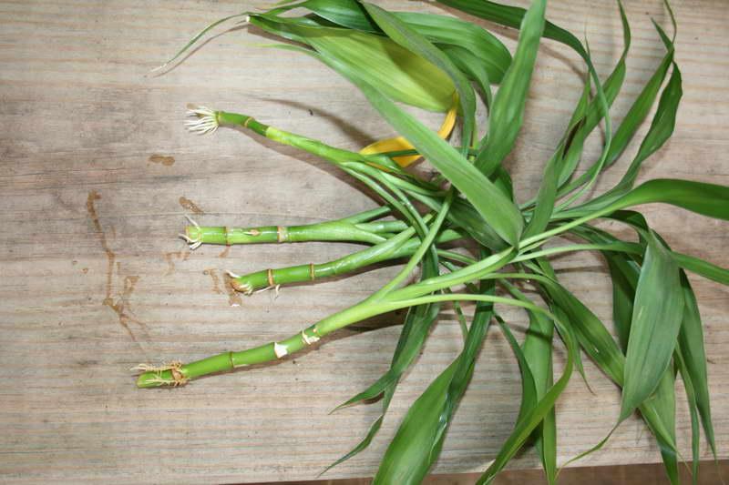 Как размножить бамбук: способы размножения, нюансы посадки, выращивание и рекомендации по уходу - sadovnikam.ru