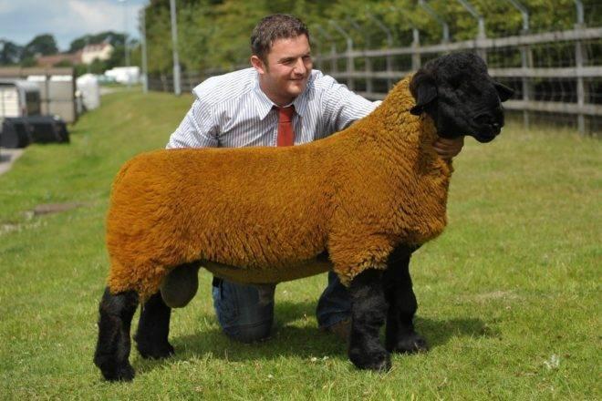 Овцы породы прекос: условия содержания, особенности, качества