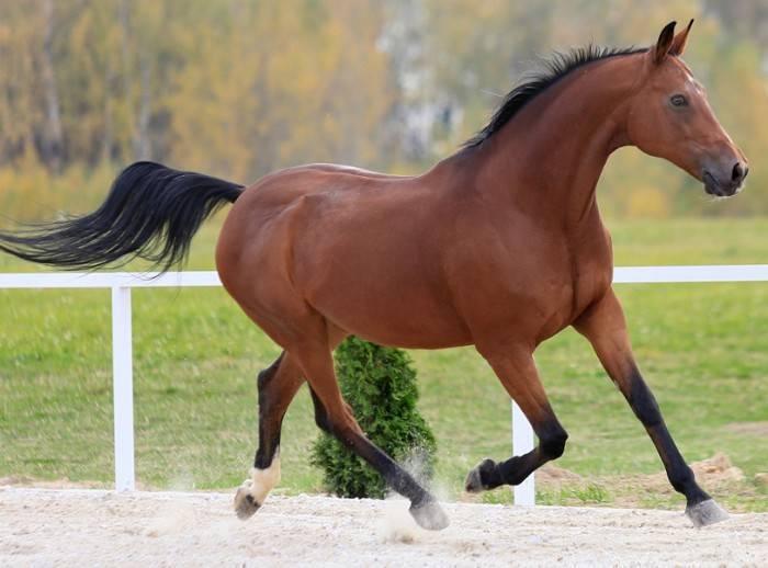 Тракененская порода лошадей - описание верхового, упряжного и спортивного видов
