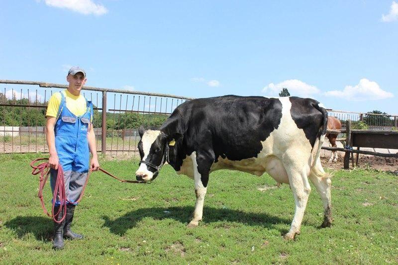 Стельная корова: что это, как определить, календарь стельности