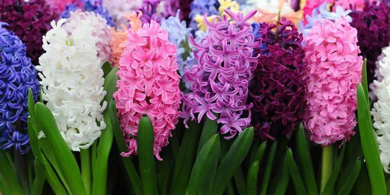 Гиацинт в горшке – уход в домашних условиях с фото, что делать от покупки до окончания цветения