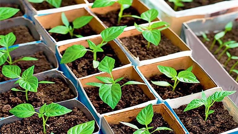 Советы и рекомендации по уходу за рассадой перцев и баклажанов в домашних условиях: как вырастить хорошую рассаду и получить богатый урожай