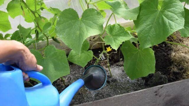 Огурец «всем на зависть» f1: описание раннего сорта корнишонного типа, его характеристики, урожайность, фото, отзывы, правила выращивания