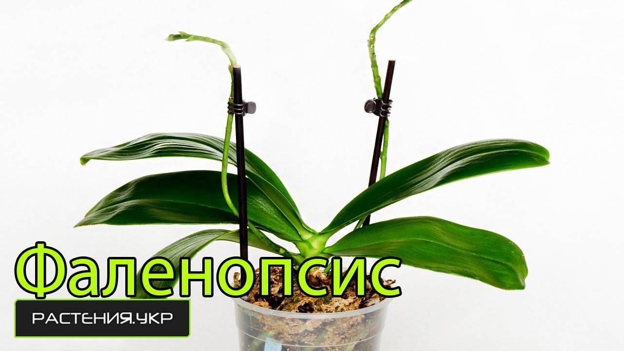 Цветок орхидея фаленопсис микс: содержание в домашних условиях