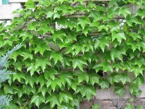 Девичий виноград — посадка и уход за неприхотливой лианой!