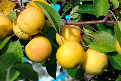 Лучшие сорта яблонь для урала и сибири: фото, описание сортов, отзывы