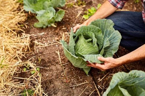 Кальциевая селитра - применение на огороде, все тонкости и нюансы подкормки