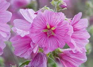 Лаватера многолетняя посадка и уход, фото, поведение в ландшафтном дизайне, размножение и выращивание сорта в открытом грунте