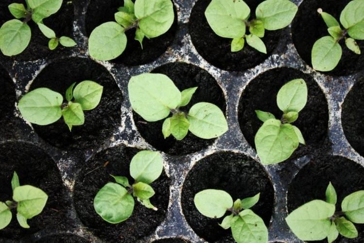 Подкормка баклажанов в открытом грунте: какие удобрения и когда использовать