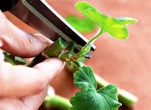 Как правильно обрезать герань чтобы она пышно цвела и была пушистой. когда лучше делать обрезку
