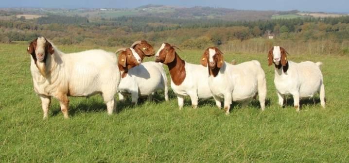Породы коз: характеристики и описание, требования к содержанию