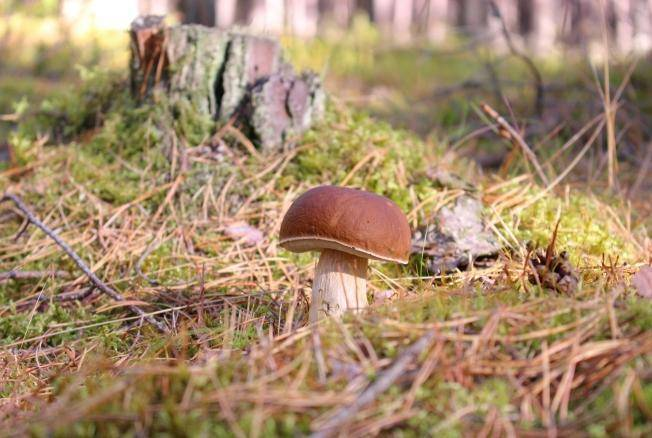 Как разморозить грибы для жарки. как заморозить на зиму белые грибы: сырыми, вареными, жареными