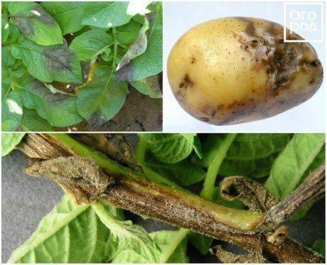 Чернеют и засыхают листья у картофеля: возможные причина, что делать