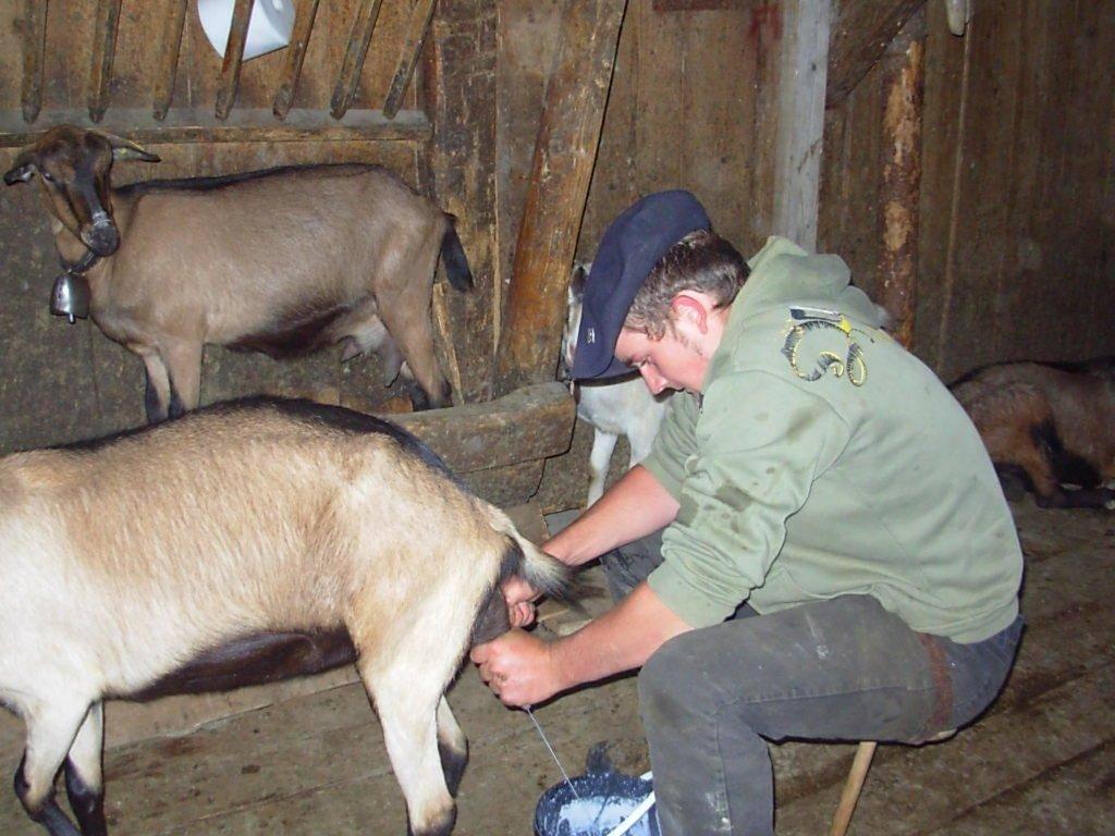 Как раздоить козу: пошаговое описание процесса, правила подготовки, эффективные методики