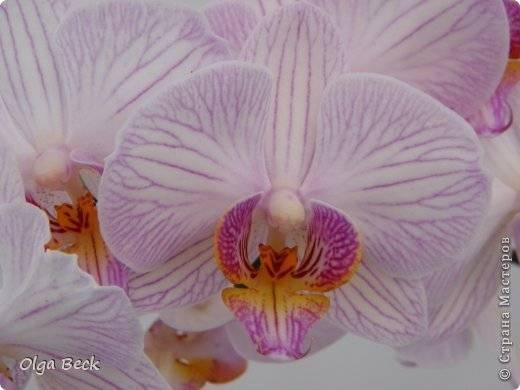 Почему сохнут бутоны у орхидеи фаленопсис и вянут цветы: основные причины