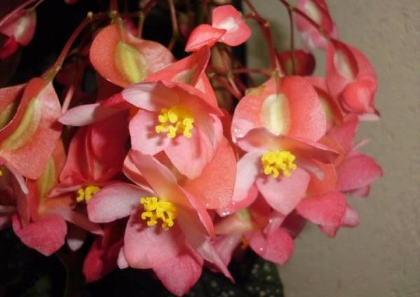 Как ухаживать за бегонией в горшке после покупки: особенности выращивания цветка в домашних условиях - sadovnikam.ru
