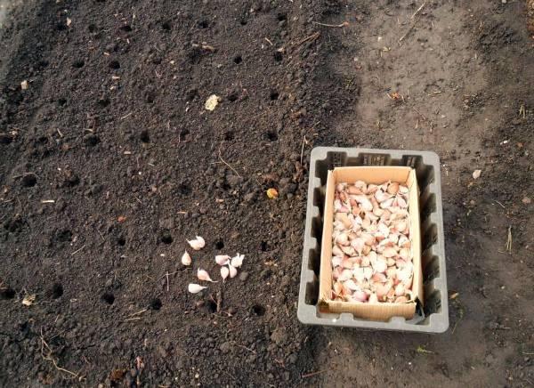 Правильная посадка чеснока осенью под зиму